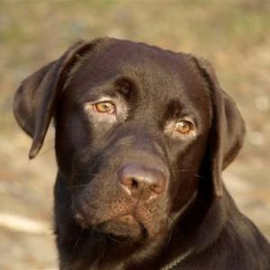 Labrador retriever De Anrit Dinastiya