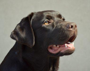 Labradoras retriveris Chicago Ashburn Basteta from retrievers kennel Basteta