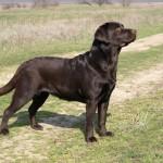 Labrador retriever De Anrit Dinastiya from retriever kennel Basteta