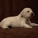 Golden retriever puppies from Moondust Masterpiece and Panda Astra litter