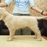 Golden retriever puppies from Moondust Masterpiece and Panda Astra litter TULIP FABLE BASTETA