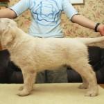 Golden retriever puppies from Moondust Masterpiece and Panda Astra litter TULIP MYTH BASTETA