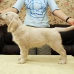 Golden retriever puppies from Moondust Masterpiece and Panda Astra litter TULIP NOVELLA BASTETA