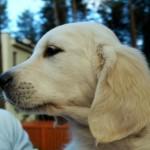 Golden retriever puppies from Moondust Masterpiece and Panda Astra litter TULIP SAGA BASTETA