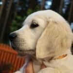 Golden retriever puppies from Moondust Masterpiece and Panda Astra litter TULIP TALE BASTETA