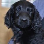 Basteta flat coated retriever puppy Bordo