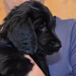 Basteta flat coated retriever puppy Dark Blue