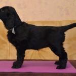 Basteta flat coated retriever puppy Green