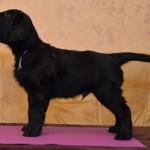 Basteta flat coated retriever puppy Grey