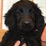 Basteta flat coated retriever puppy Light Blue