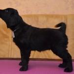 Basteta flat coated retriever puppy Pink