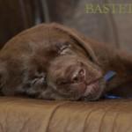 Labrador retriever De Anrit Dinastiya and Harrypotter of Lucifers Delight puppies