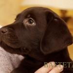 Labrador retriever De Anrit Dinastiya and Harrypotter of Lucifers Delight puppies CHEERY NIPPEL BASTETA