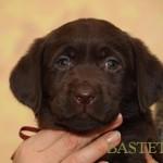 Labrador retriever De Anrit Dinastiya and Harrypotter of Lucifers Delight puppies CHEERY PERI BASTETA