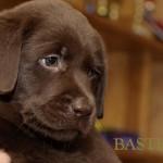 Labrador retriever De Anrit Dinastiya and Harrypotter of Lucifers Delight puppies CHEERY PUCK BASTETA
