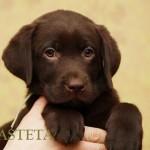 Labrador retriever De Anrit Dinastiya and Harrypotter of Lucifers Delight puppies CHEERY SPRITE BASTETA