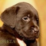 Labrador retriever De Anrit Dinastiya and Harrypotter of Lucifers Delight puppies CHEERY XANA BASTETA