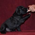 Basteta flat coated retriever puppies