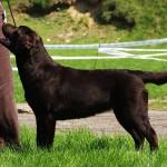 Labrador retriever Chicago Ashburn Basteta