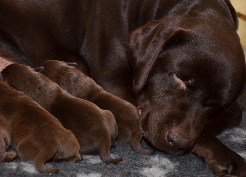 Labrador retriever puppies from retriever kennel Basteta