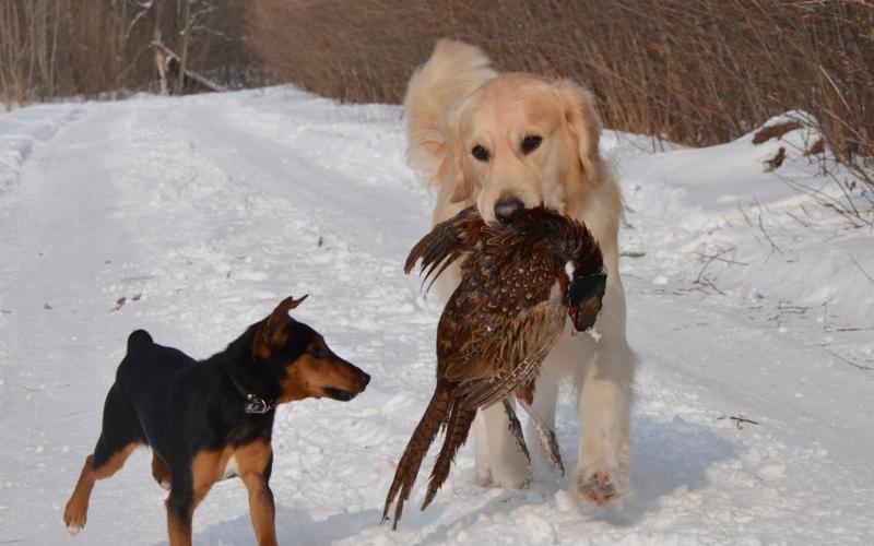 Retrievers on pheasant hunting
