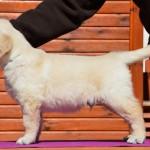 Golden retriever puppies - azur boy