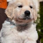Golden retrievers puppies - azure boy