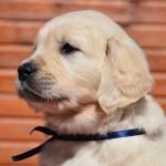Golden retriever puppies - blue boy
