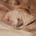 Golden retriever puppies from retriever kennel Basteta