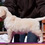 Golden retriever puppies - golden boy