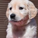 Golden retriever puppies - green boy