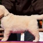 Golden retriever puppies - grey boy