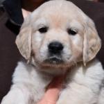Golden retriever puppies - pink bitch