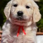 Golden retriever puppies - red bitch