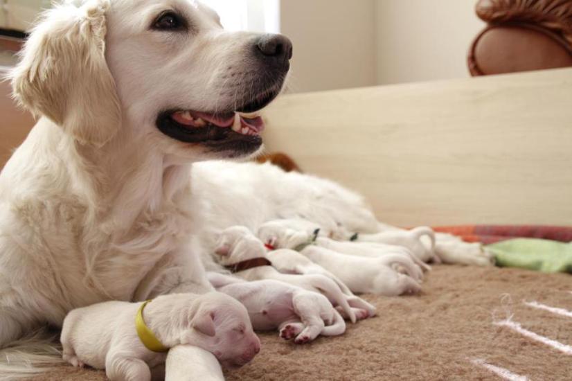Golden retriever puppies from Kassander of Bridge Four and Linksmoji Lota Basteta