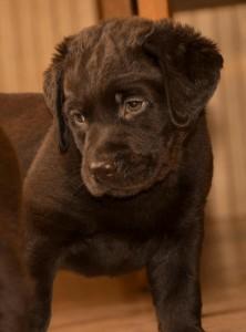 chocolate labrador puppies from retriever kennel Basteta